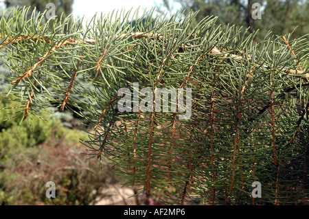 Brewer spruce Picea breweriana also called Brewer's weeping spruce - Stock Photo
