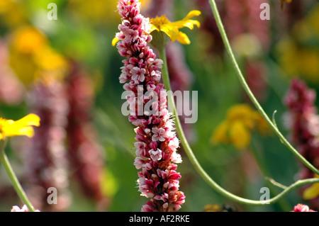 Himalayan Fleeceflower Polygonum Affine or synonym Bistorta affinis also called Himalayan Border Jewel - Stock Photo