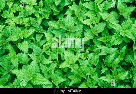 Close up from directly above of many fresh spring green leaves and stems of Common or Stinging nettle or Urtica - Stock Photo