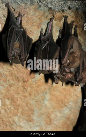 Jamaican fruit-eating bat (Artibeus jamaicensis), group on top of cave - Stock Photo