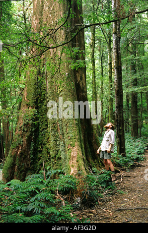 Man looking up at giant Mountain Ash tree Eucalyptus regnans in forest - Stock Photo