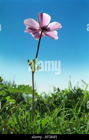 One of the anemones which flower prolificly on the hills fields and roadsides on Cyprus in February - Stock Photo