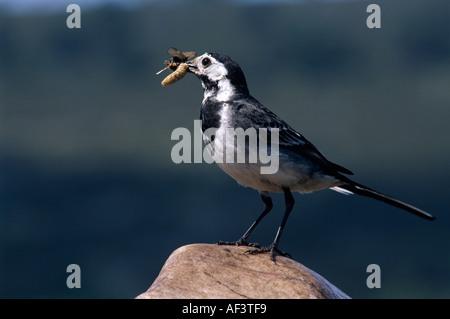 Hen pied Wagtail near nest Cairngorms National Park, Scotland, UK