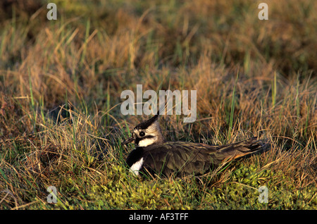 Hen Lapwing, also known as the peewit or pewit, tuit or tew-it, green plover, at Nest,'Cairn Shiel' Aberdeenshire - Stock Photo