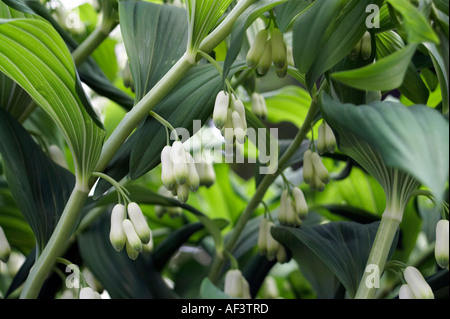 Convallariaceae. Polygonatum x hybridum. Common Solomon's seal - Stock Photo