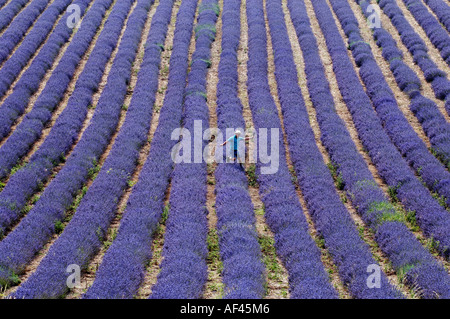 Farmer Andrew Elms harvesting his five acres of lavender at Lordington near Chichester in West Sussex - Stock Photo