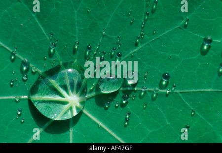 Drops of water on Nasturtium leaf / (Tropaeolum majus) - Stock Photo