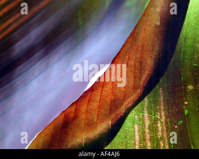 Maranta leaf detail / (Calathea spec.) - Stock Photo