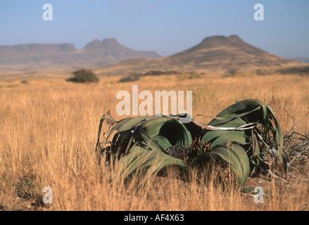 A Welwitschia mirabilis, Damaraland, Namibia - Stock Photo