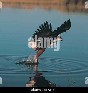 Fish Eagle stooping to try to catch a fish from the water Okavango Delta Botswana southern Africa - Stock Photo