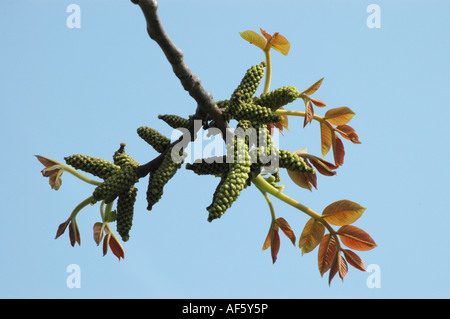 beech sprouts germinate sprout beech tree stock photo royalty free image