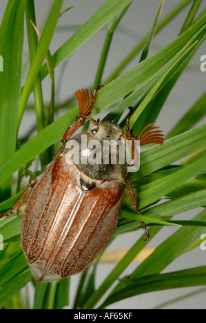Adult cockchafer or may bug Melolontha melolontha on grass
