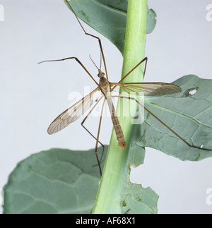 Adult crane fly Tipula oleracea on a cabbage plant - Stock Photo