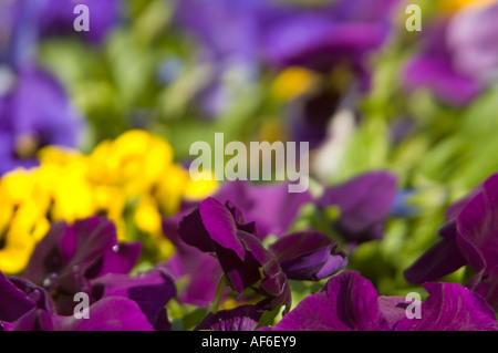 Horizontal close up of bright purple, yellow and magenta pansies in a colourful flower bed. - Stock Photo