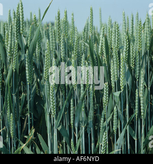 Close up of wheat crop in early ear - Stock Photo