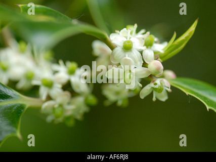 Close up of female flowers of the holly tree - Stock Photo
