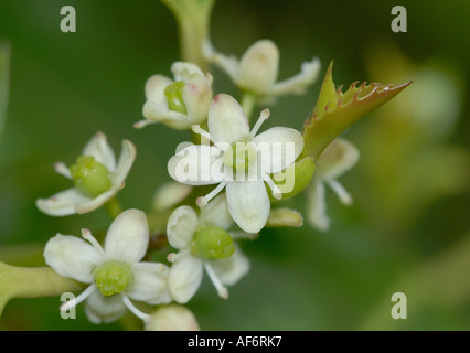 Close up of female flowers the the holly tree - Stock Photo
