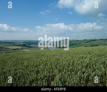 Wheat crop in green unripe ear on the Devon Cornwall border overlooking the Tamar River - Stock Photo