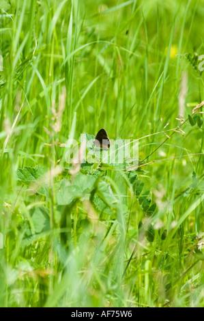 Ringlet (Aphantopus hyperantus) Butterfly resting in grass land - Stock Photo
