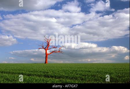 Solitary red tree in a field - Stock Photo