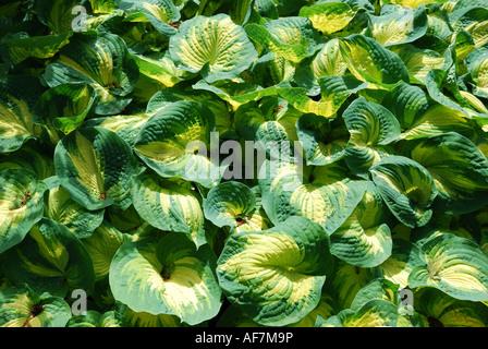 Hosta plant with variegate leaves, Savill Garden, Windsor Great Park, Englefield Green, Berkshie, England, United - Stock Photo