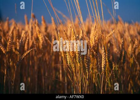 golden wheat in field Dorset England UK - Stock Photo
