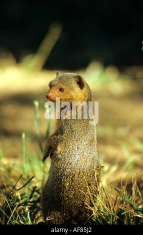 Dwarf Mongoose standing on its hind legs to keep a lookout outside its home in Tanzania East Africa - Stock Photo