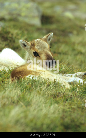 Reindeer Rangifer terandus calf lying at rest on a hillside - Stock Photo