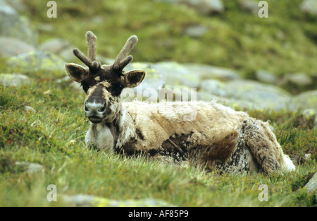 Reindeer Rangifer terandus lying on a hillside and looking directly at the camera lens - Stock Photo