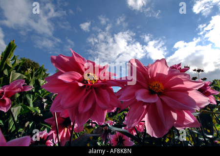 A bee pollinates dahlias at Great Dixter garden in Northiam East Sussex - Stock Photo