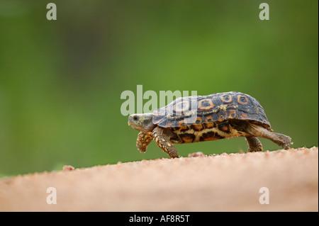 Leopard tortoise Geochelone padalis walking down a gentle incline Sabi Sand Game Reserve Mpumalanga South Africa - Stock Photo
