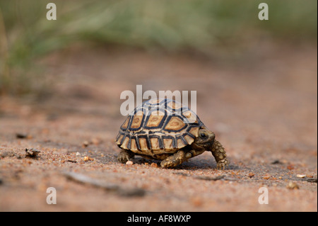 Young leopard tortoise - Stock Photo