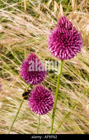 Allium sphaerocephalon (drumstick) flower at RHS garden, Wisley, Surrey GB UK - Stock Photo