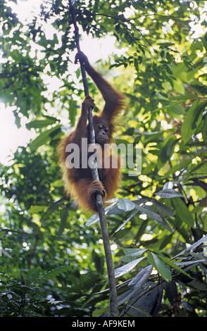 orang-utan, orangutan, orang-outang (Pongo pygmaeus), climbing at a liana, Indonesia, Sumatra - Stock Photo