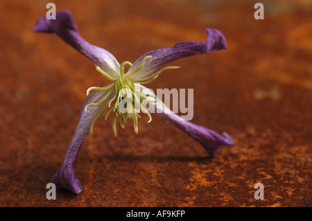 Clematis (Clematis spec.), clematisblossom on a ironsheet, Germany - Stock Photo