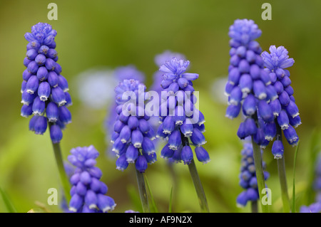grape hyachinth (Muscari spec.), some inflorescenses - Stock Photo