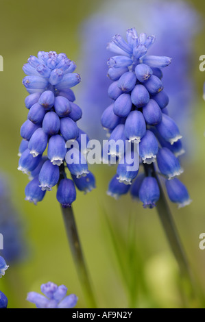 grape hyachinth (Muscari spec.), two inflorescenses - Stock Photo