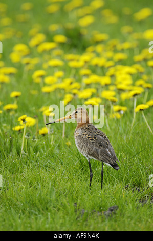 black-tailed godwit (Limosa limosa), in meadow with flowering dandelion, Netherlands - Stock Photo