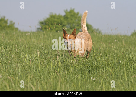 Australian Cattle Dog (Canis lupus f. familiaris), running through meadow with ball in its mouth, Europe, Germany - Stock Photo
