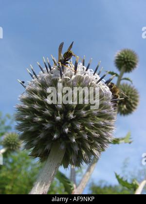 great globethistle, great globe-thistle, giant globe thistle (Echinops sphaerocephalus), inflorescence with pollinators, - Stock Photo