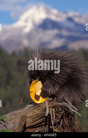 common porcupine Erethizon dorsatum baby feeding on a cottonwood tree leaf Takshanuk mountains northern southeast - Stock Photo