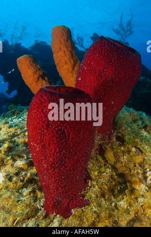 A Strawberry Vase Sponge On The Wall In Little Cayman Stock Photo