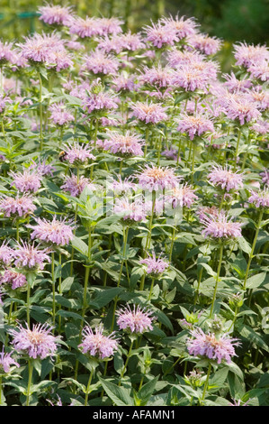 Pink flowers of Bee Balm Lamiaceae Monarda didyma - Stock Photo