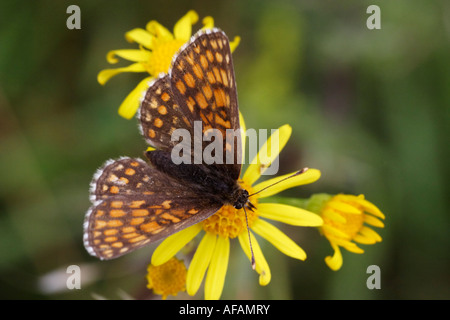 Fritillary (Mellicta spec) feeding on St. John's Word - Stock Photo