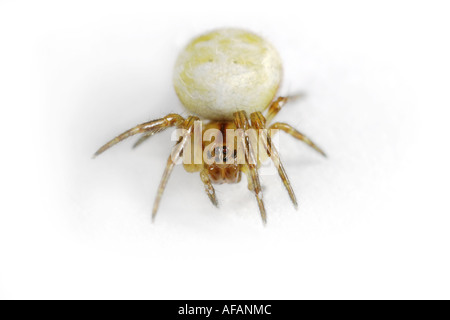 A small and young specimen of the Araneus Quadratus spider, on white background. - Stock Photo