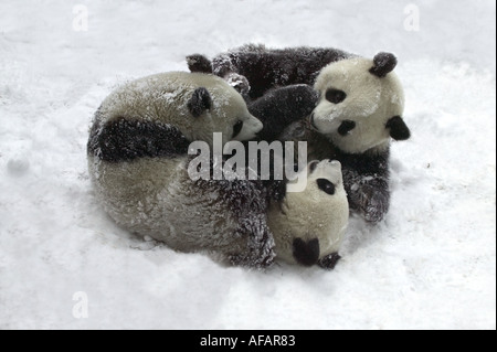 Three Giant pandas tumbling and playing on snow Wolong Panda Reserve Sichuan Province China - Stock Photo