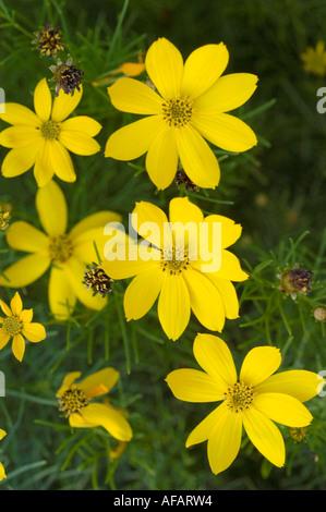 yellow flowers of threadleaf coreopsis compositae coreopsis north america stock photo - Threadleaf Coreopsis