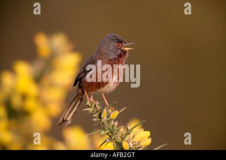 Dartford warbler Sylvia undata Dorset - Stock Photo