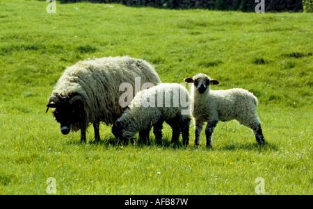 Sheep, Upper Wensleydale, North Yorkshire, England, UK. - Stock Photo