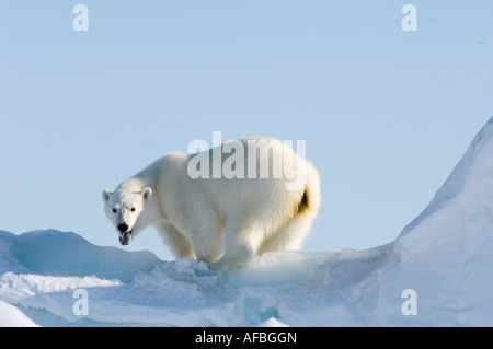 Male polar bear patrols along the floe edge in search of food, scenting the air and showing black tongue - Stock Photo